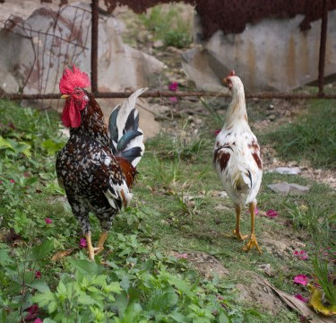 A rooster with colorful feathers and a hen in nature.